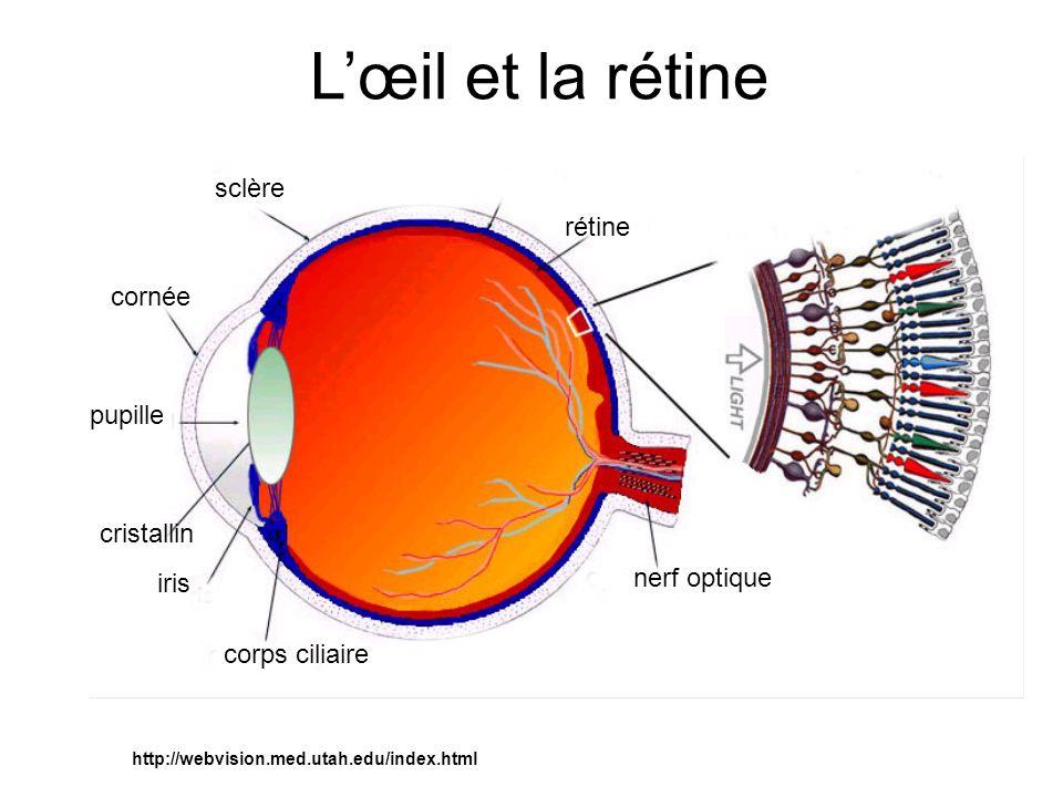nerf optique corps ciliaire iris cristallin pupille cornée sclère rétine http://webvision.med.utah.edu/index.html Lœil et la rétine