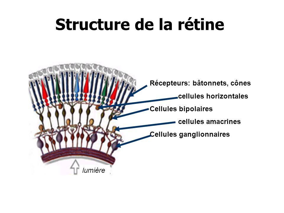 Récepteurs: bâtonnets, cônes cellules horizontales Cellules bipolaires cellules amacrines Cellules ganglionnaires lumière Structure de la rétine