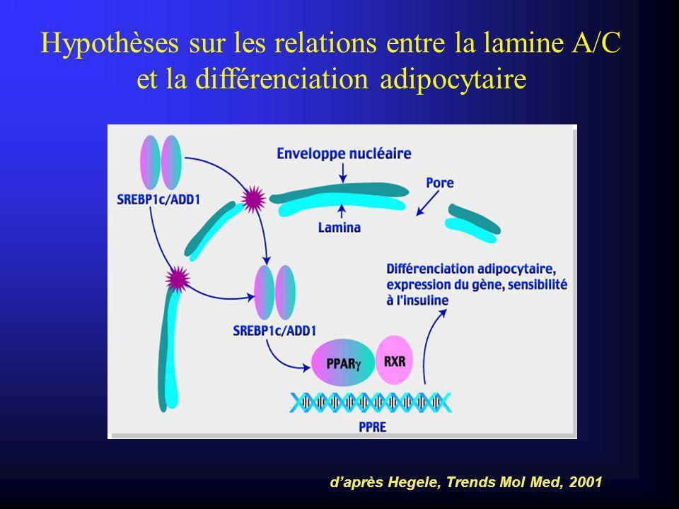 Hypothèses sur les relations entre la lamine A/C et la différenciation adipocytaire daprès Hegele, Trends Mol Med, 2001