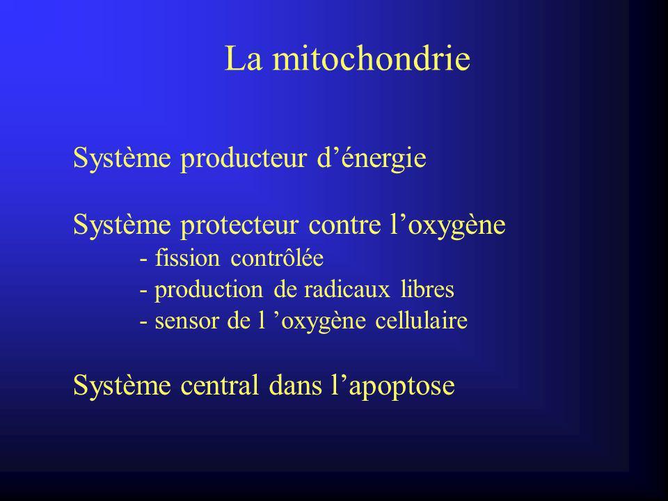 La mitochondrie Système producteur dénergie Système protecteur contre loxygène - fission contrôlée - production de radicaux libres - sensor de l oxygène cellulaire Système central dans lapoptose