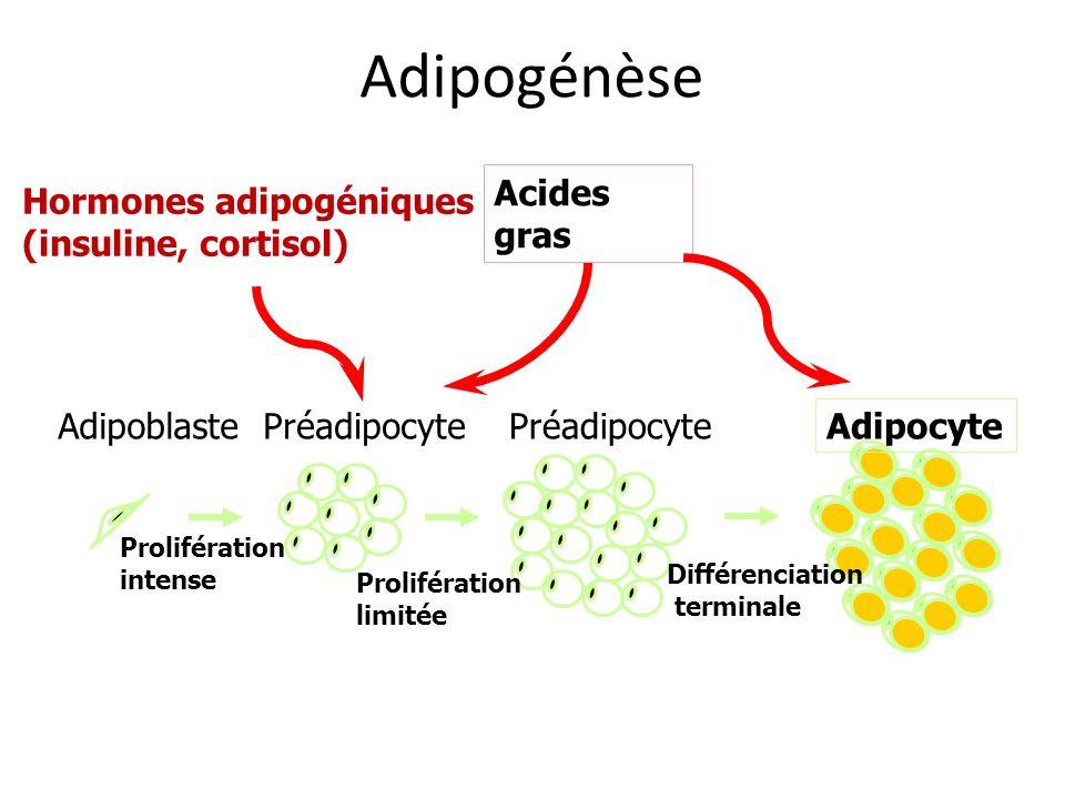 Adipogénèse AdipoblastePréadipocyte Adipocyte Prolifération intense Hormones adipogéniques (insuline, cortisol) Acides gras Prolifération limitée Préa