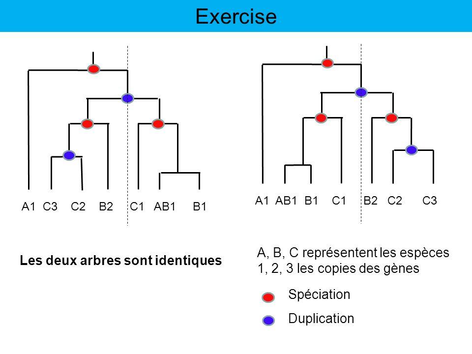 Exercise A, B, C représentent les espèces 1, 2, 3 les copies des gènes A1 AB1 B1 C1 B2 C2 C3 Spéciation Duplication A1 C3 C2 B2 C1 AB1 B1 Les deux arb