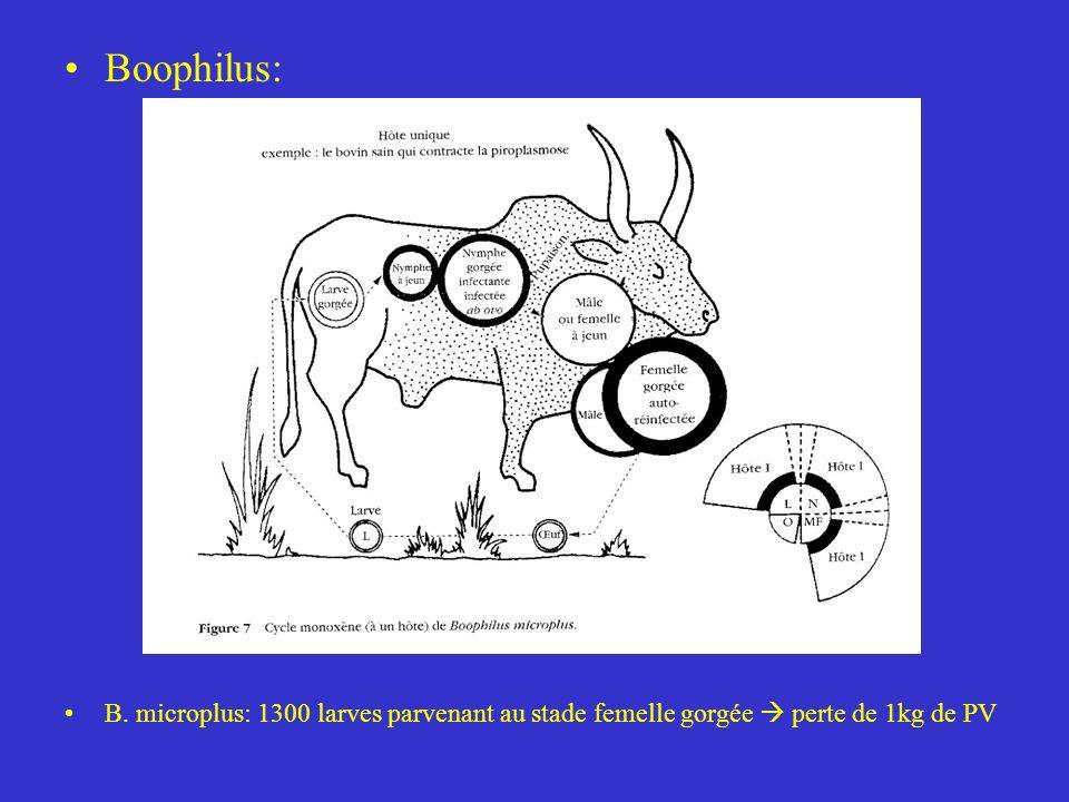 Boophilus: B. microplus: 1300 larves parvenant au stade femelle gorgée perte de 1kg de PV
