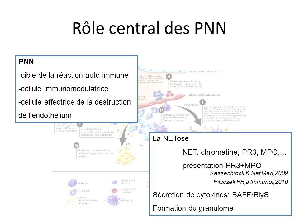 Rôle central des PNN PNN -cible de la réaction auto-immune -cellule immunomodulatrice -cellule effectrice de la destruction de lendothélium La NETose