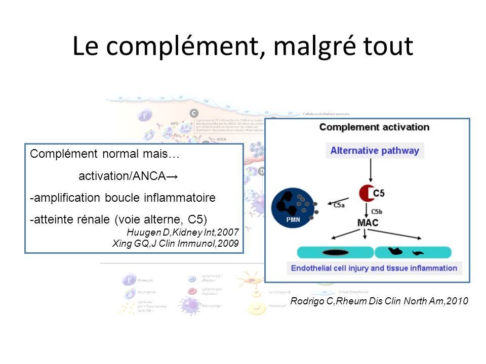 Le complément, malgré tout Complément normal mais… activation/ANCA -amplification boucle inflammatoire -atteinte rénale (voie alterne, C5) Huugen D,Ki