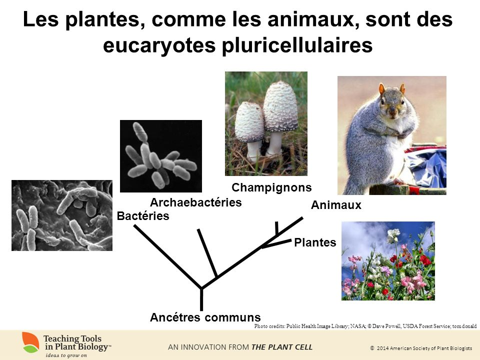 © 2014 American Society of Plant Biologists Les plantes, comme les animaux, sont des eucaryotes pluricellulaires Bactéries Archaebactéries Animaux Plantes Champignons Ancétres communs Photo credits: Public Health Image Library; NASA; © Dave Powell, USDA Forest Service; tom donald