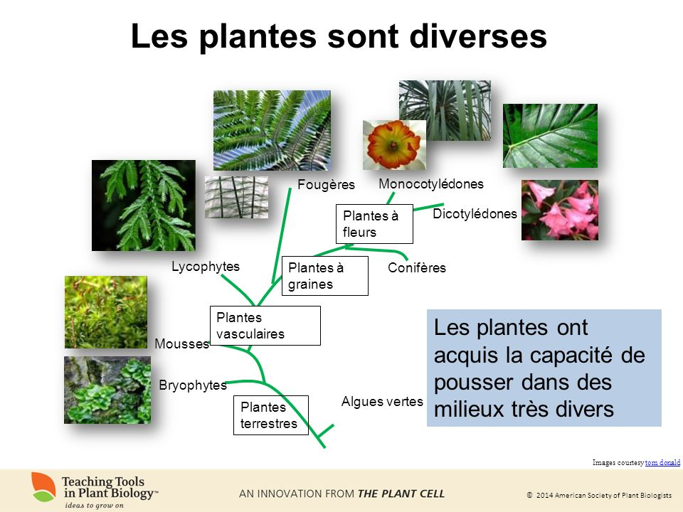 © 2014 American Society of Plant Biologists Les études de Mendel sur le pois ont révélé les lois de lhérédité