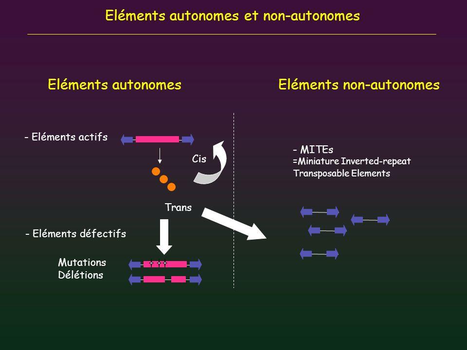 Eléments autonomes et non-autonomes Eléments autonomesEléments non-autonomes Mutations Délétions - Eléments actifs - Eléments défectifs - MITEs =Minia
