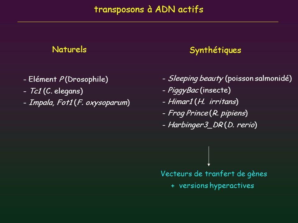 transposons à ADN actifs Naturels Synthétiques - Elément P (Drosophile) - Tc1 (C. elegans) - Impala, Fot1 (F. oxysoparum) - Sleeping beauty (poisson s