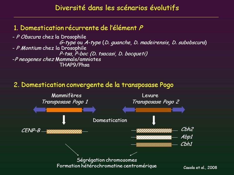 Diversité dans les scénarios évolutifs Transposase Pogo 1 CENP-B MammifèresLevure Domestication 1. Domestication récurrente de lélément P - P Obscura