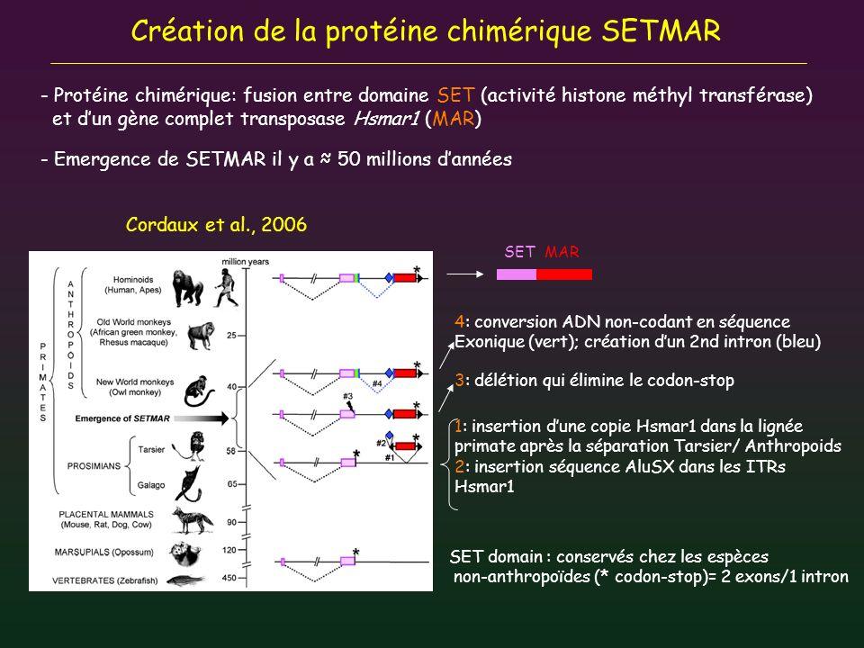 Création de la protéine chimérique SETMAR SET domain : conservés chez les espèces non-anthropoïdes (* codon-stop)= 2 exons/1 intron 1: insertion dune
