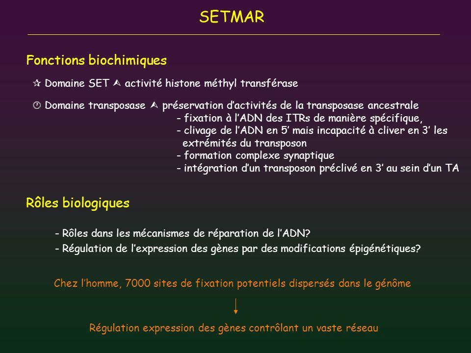 Domaine SET activité histone méthyl transférase Domaine transposase préservation dactivités de la transposase ancestrale - fixation à lADN des ITRs de
