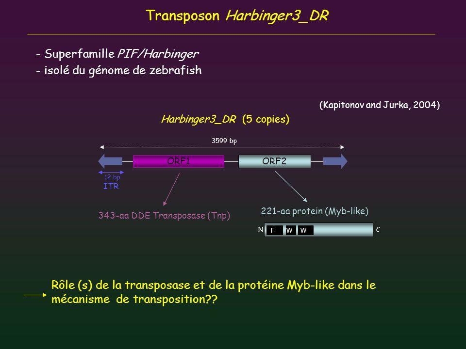 Transposon Harbinger3_DR - Superfamille PIF/Harbinger - isolé du génome de zebrafish (Kapitonov and Jurka, 2004) N C ORF1 ORF2 Harbinger3_DR (5 copies