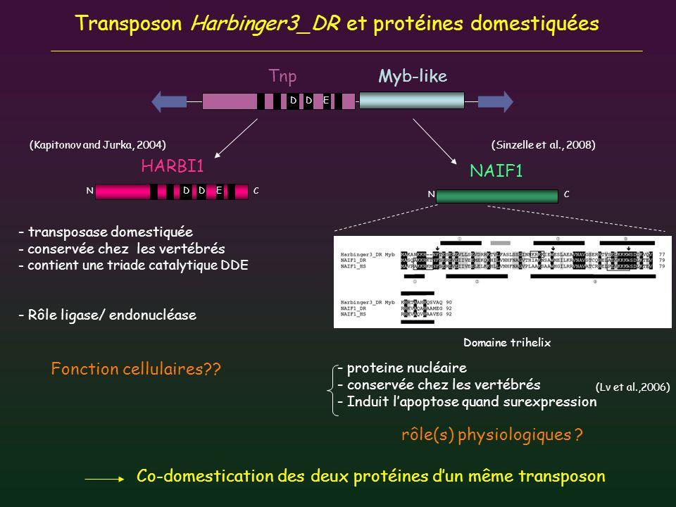 N C HARBI1 Transposon Harbinger3_DR et protéines domestiquées - transposase domestiquée - conservée chez les vertébrés - contient une triade catalytiq