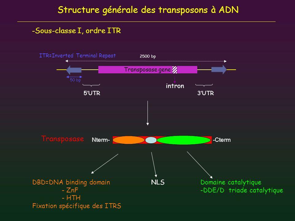 Motif Zn finger - THAP ( P ) - BED domain ( hAT ) - WRKY/GCM1 ( mutator ) SETMAR DNA repair DBD Diversité structurale Transposase ancestrale Domestication du gène complet transposase RAG1->Recombinaison V(D)J Protéine chimérique: fusion entre gène complet transposase et domaine non apparenté Catalytic domain Protéine chimérique: fusion entre DBD transposase et domaine non apparenté Motif HTH - Paired domain ( Tc1 ) - Pipsqueak domain ( Pogo ) - Myb/SANT/trihelix domain ( PIF/Harbinger ) DBD