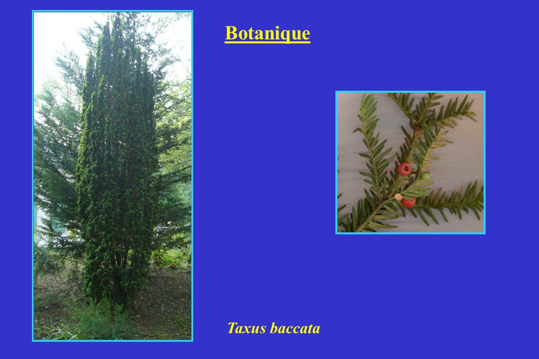 Botanique Taxus baccata