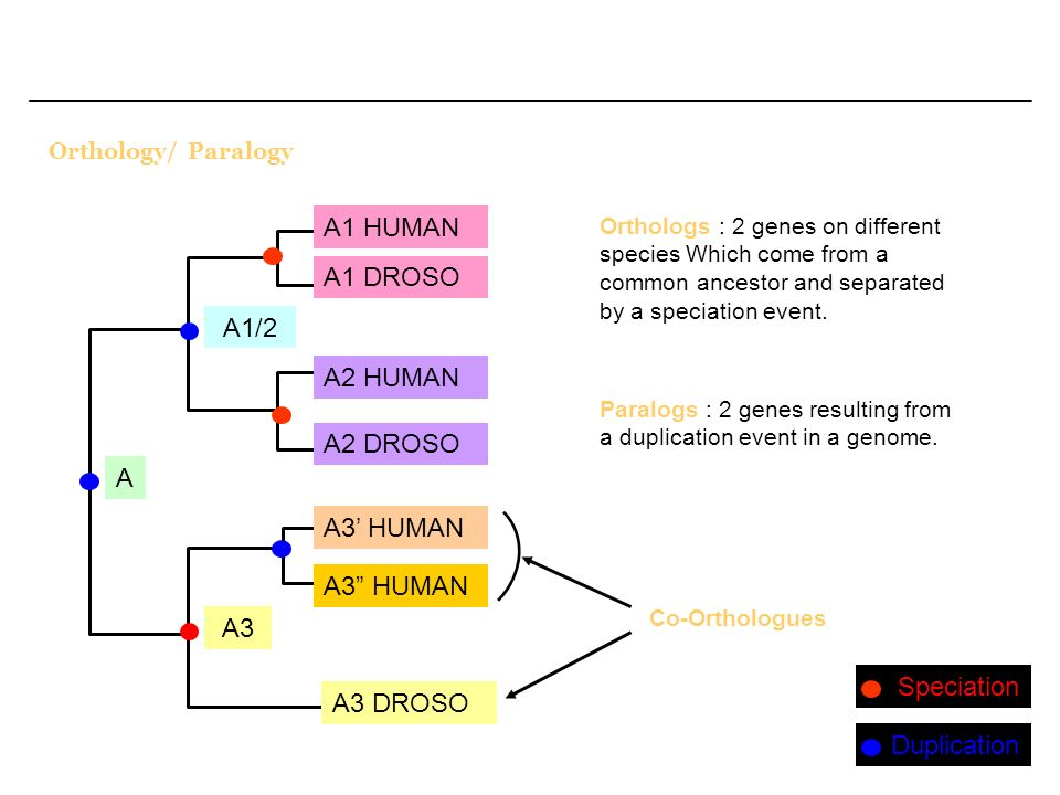Orthology/ Paralogy Orthologs : 2 genes on different species Which come from a common ancestor and separated by a speciation event.