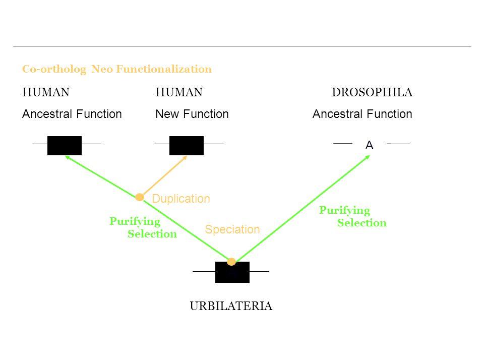 Co-ortholog Neo Functionalization A A A URBILATERIA Speciation Purifying Selection DROSOPHILA Ancestral Function A2 Duplication HUMAN Ancestral Function HUMAN New Function Purifying Selection