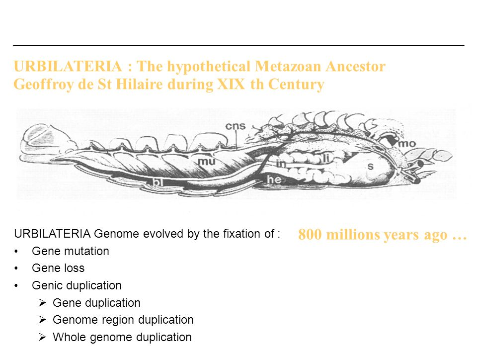 URBILATERIA : The hypothetical Metazoan Ancestor Geoffroy de St Hilaire during XIX th Century URBILATERIA Genome evolved by the fixation of : Gene mut