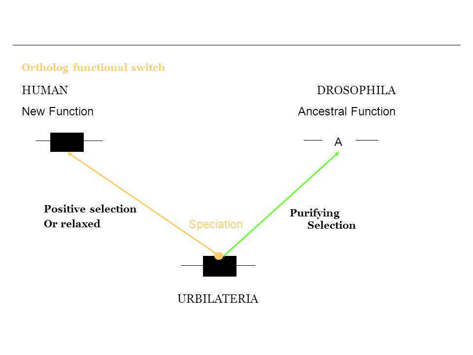 Ortholog functional switch A A2 A URBILATERIA Speciation Purifying Selection DROSOPHILA Ancestral Function HUMAN New Function Positive selection Or relaxed