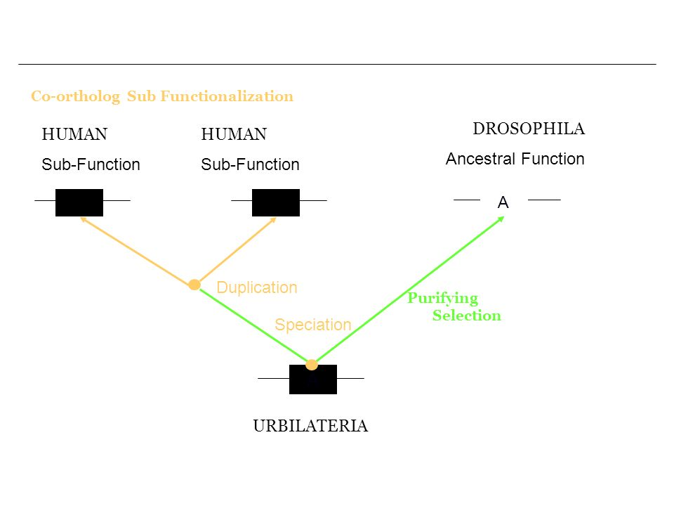 Co-ortholog Sub Functionalization A A A URBILATERIA Speciation Purifying Selection DROSOPHILA Ancestral Function A Duplication HUMAN Sub-Function HUMA