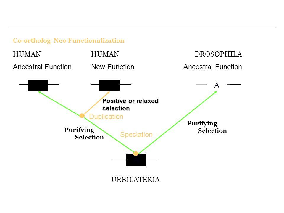 Co-ortholog Neo Functionalization A A A URBILATERIA Speciation Purifying Selection DROSOPHILA Ancestral Function A2 Duplication HUMAN Ancestral Function HUMAN New Function Positive or relaxed selection Purifying Selection