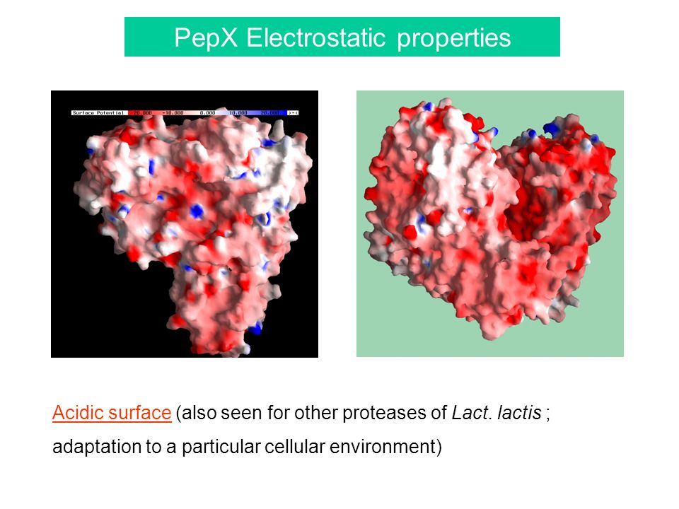PepX Electrostatic properties Acidic surface (also seen for other proteases of Lact.