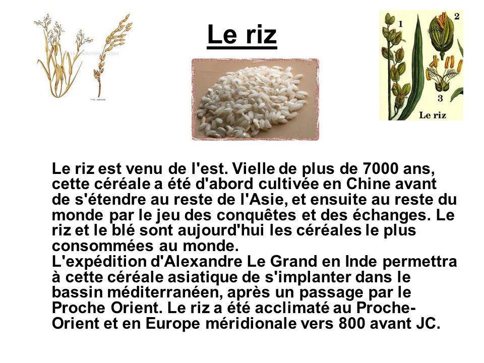 Le riz Le riz est venu de l'est. Vielle de plus de 7000 ans, cette céréale a été d'abord cultivée en Chine avant de s'étendre au reste de l'Asie, et e