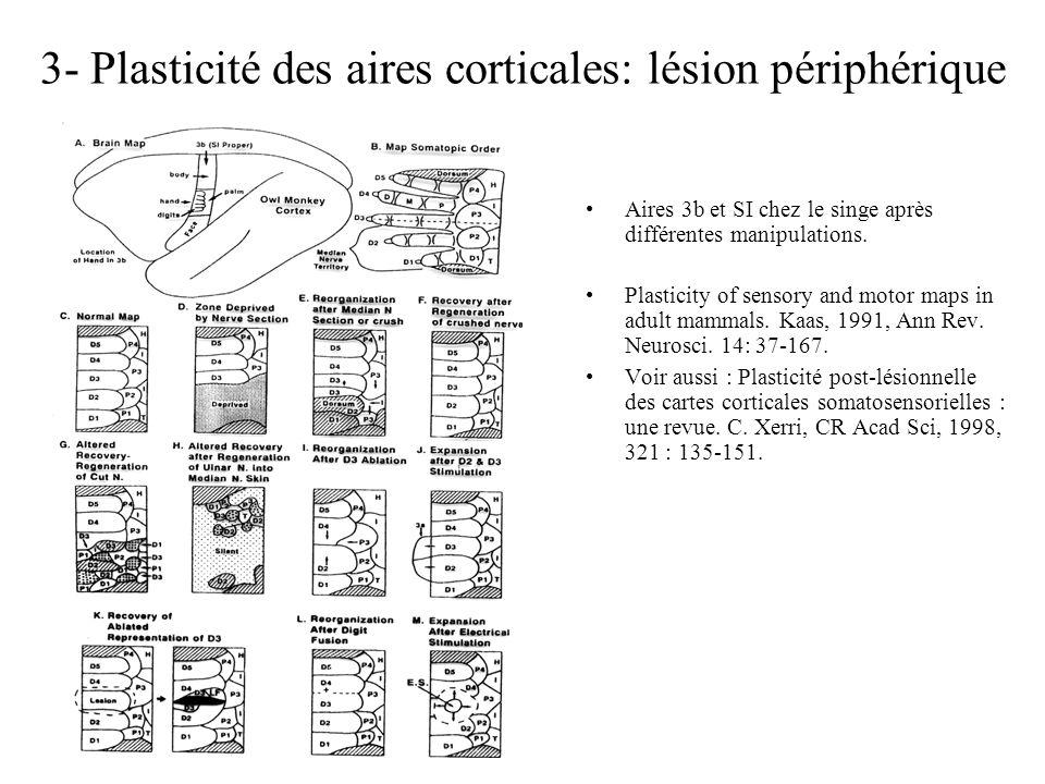 3- Plasticité des aires corticales: lésion périphérique Aires 3b et SI chez le singe après différentes manipulations. Plasticity of sensory and motor