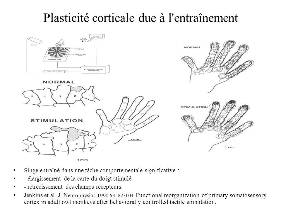 Plasticité corticale due à l'entraînement Singe entraîné dans une tâche comportementale significative : - élargissement de la carte du doigt stimulé -