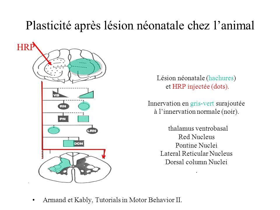 Plasticité après lésion néonatale chez lanimal Armand et Kably, Tutorials in Motor Behavior II. Lésion néonatale (hachures) et HRP injectée (dots). In