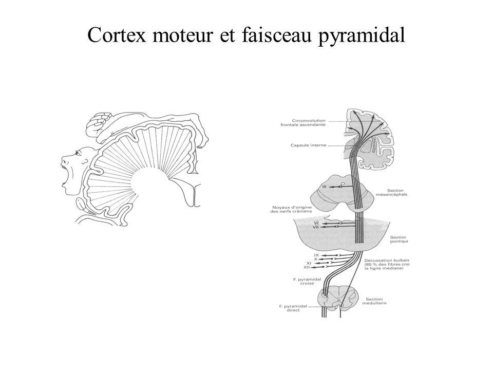 Plasticité corticale due à l entraînement Singe entraîné dans une tâche comportementale significative : - élargissement de la carte du doigt stimulé - rétrécissement des champs récepteurs.