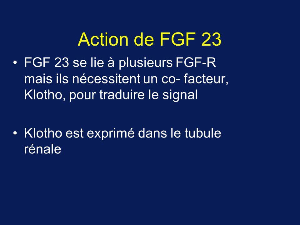 Action de FGF 23 FGF 23 se lie à plusieurs FGF-R mais ils nécessitent un co- facteur, Klotho, pour traduire le signal Klotho est exprimé dans le tubul
