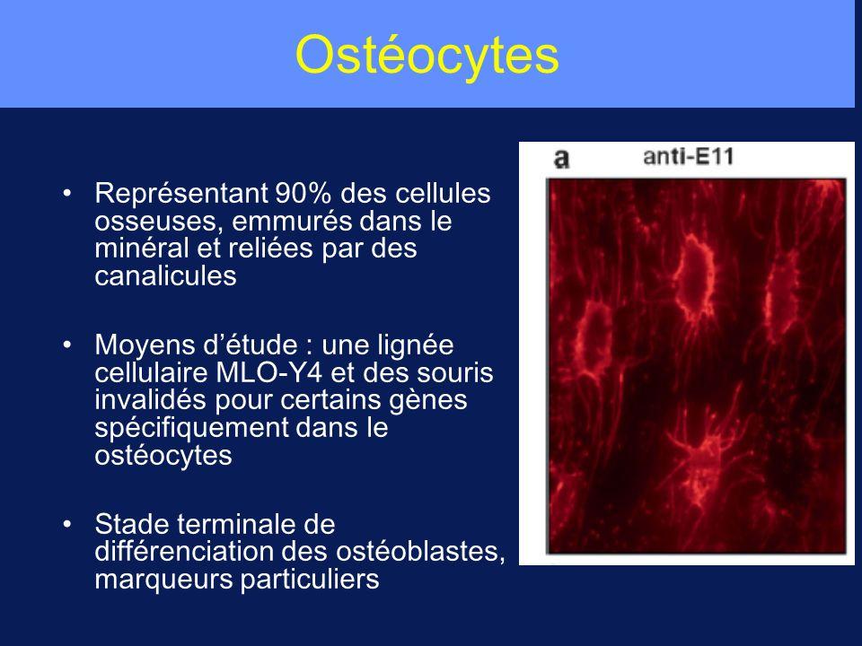 Ostéocytes Représentant 90% des cellules osseuses, emmurés dans le minéral et reliées par des canalicules Moyens détude : une lignée cellulaire MLO-Y4