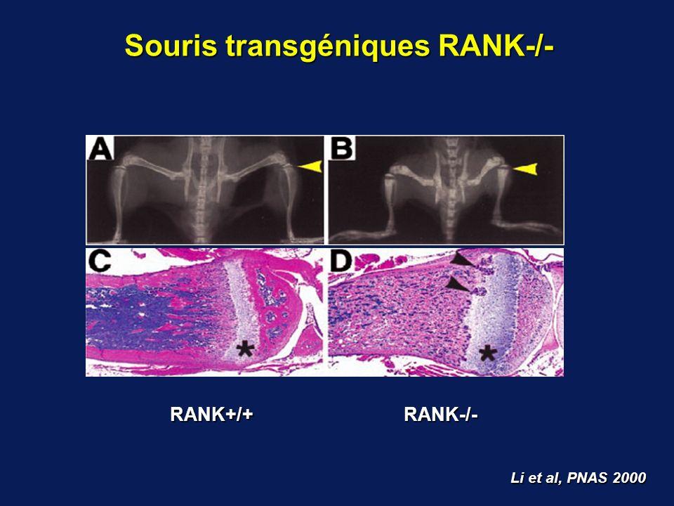 Li et al, PNAS 2000 Souris transgéniques RANK-/- RANK-/-RANK+/+