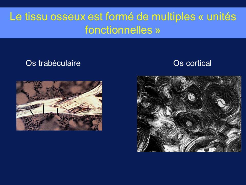 Le tissu osseux est formé de multiples « unités fonctionnelles » Os trabéculaireOs cortical
