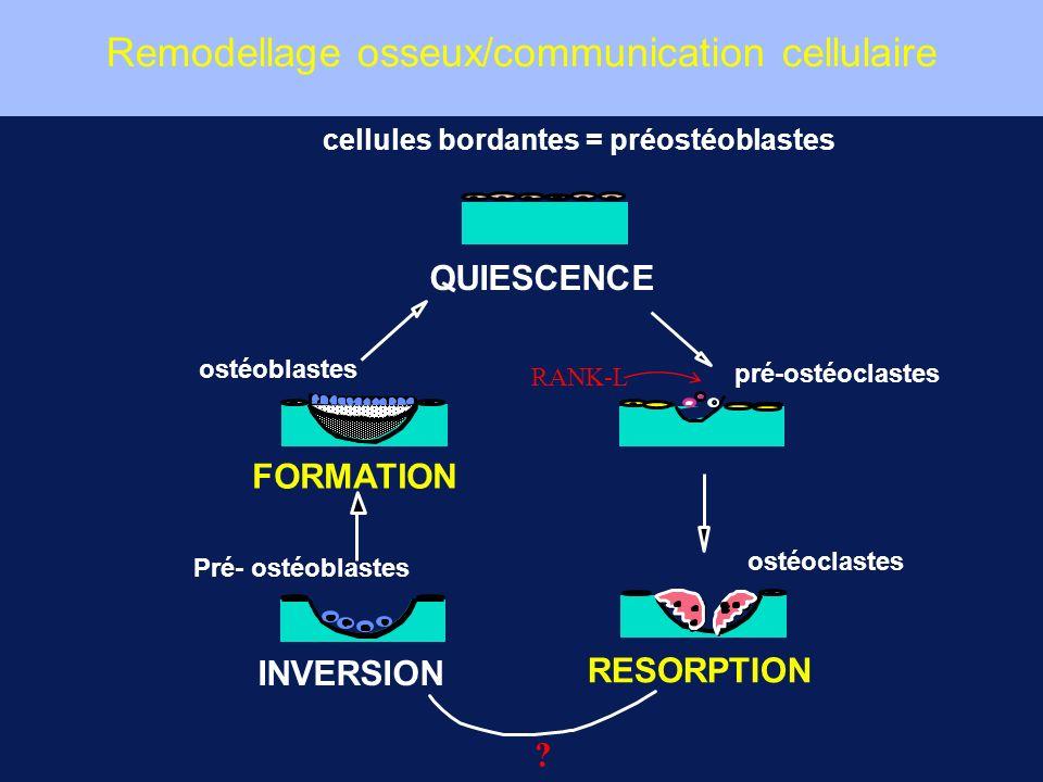 cellules bordantes = préostéoblastes pré-ostéoclastes ostéoclastes Pré- ostéoblastes ostéoblastes RESORPTION INVERSION FORMATION QUIESCENCE RANK-L ? R