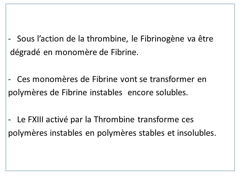 -Sous laction de la thrombine, le Fibrinogène va être dégradé en monomère de Fibrine. -Ces monomères de Fibrine vont se transformer en polymères de Fi