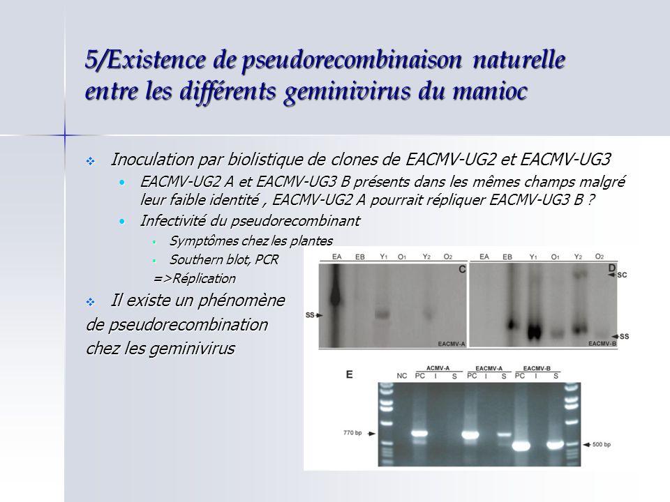 5/Existence de pseudorecombinaison naturelle entre les différents geminivirus du manioc Inoculation par biolistique de clones de EACMV-UG2 et EACMV-UG