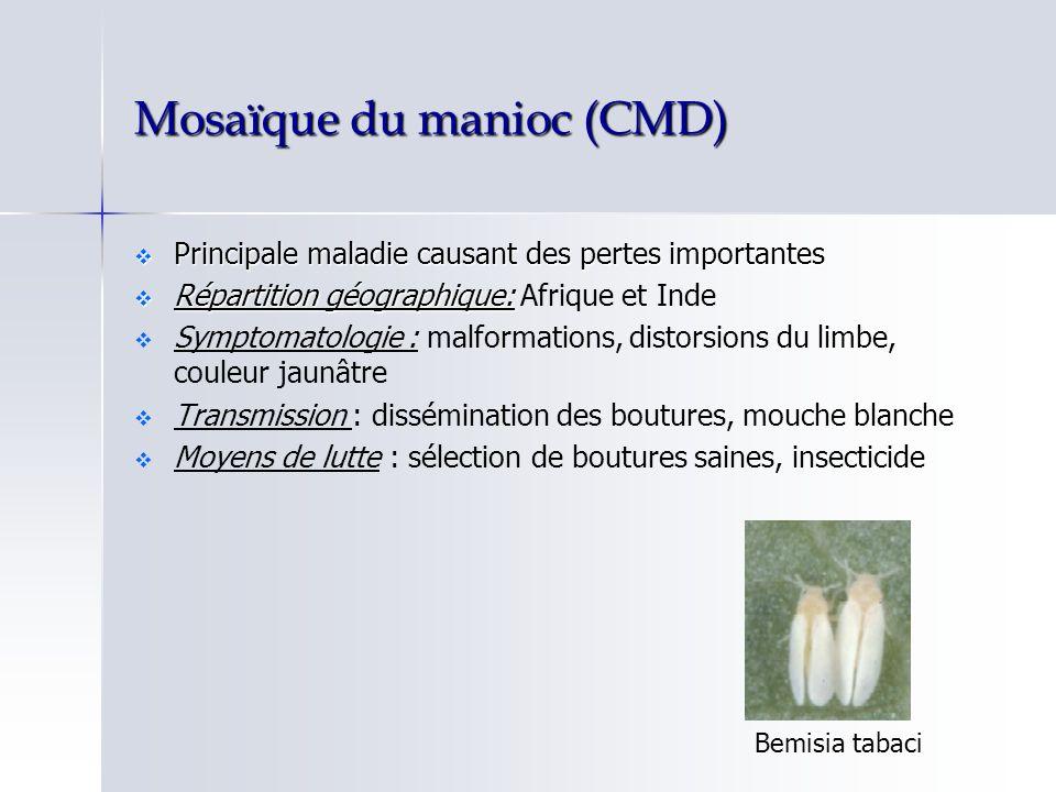 Mosaïque du manioc (CMD) Principale maladie causant des pertes importantes Principale maladie causant des pertes importantes Répartition géographique: