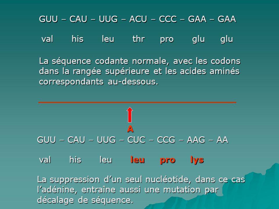 GUU – CAU – UUG – ACU – CCC – GAA – GAA val his leu thr pro glu glu La séquence codante normale, avec les codons dans la rangée supérieure et les acides aminés correspondants au-dessous.