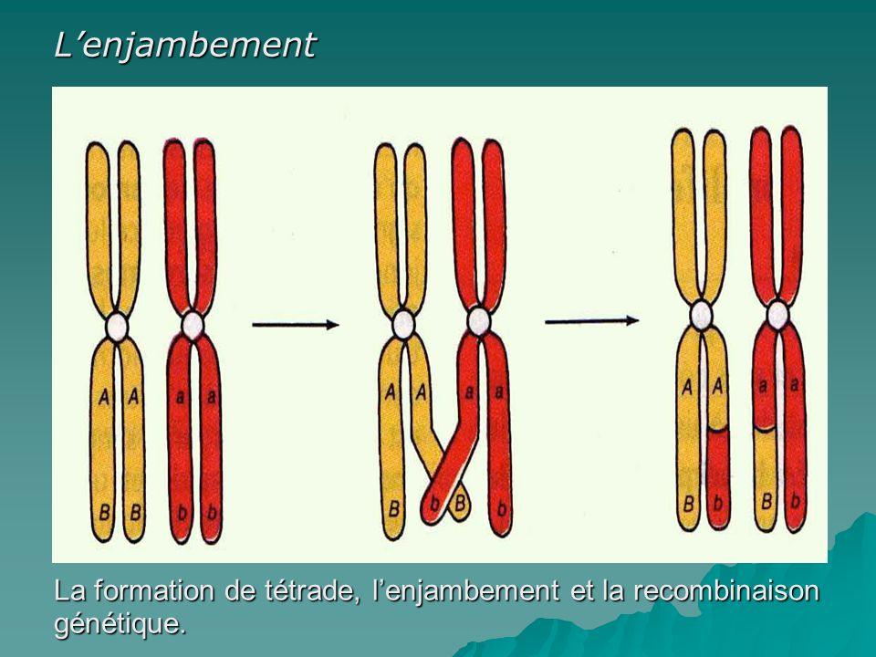 La formation de tétrade, lenjambement et la recombinaison génétique. Lenjambement