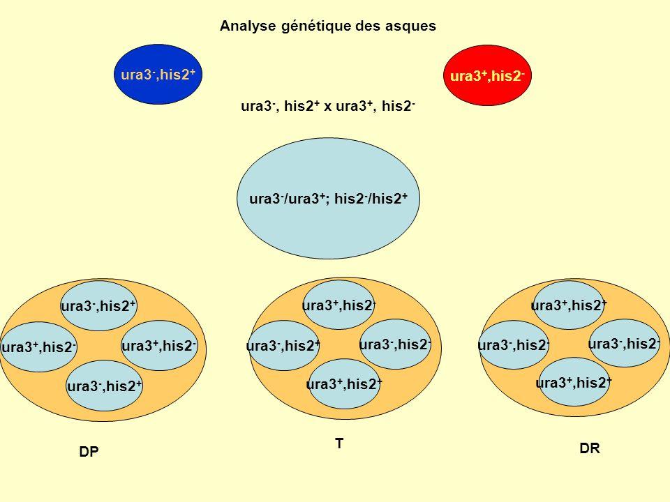arg +, leu + Arg -, leu - arg -, leu + arg +,leu - DP arg +,leu - arg -,leu + arg +,leu + arg -,leu - DR T arg -, leu + arg +,leu - arg +, leu + Arg -, leu - Si DP = DR : les gènes arg et leu sont génétiquement indépendants Si DP >>> DR : les gènes arg et leu sont génétiquement liés Frec (arg,leu) = (Tx2 + DRx4) (DP + T + DR)x4 X 100