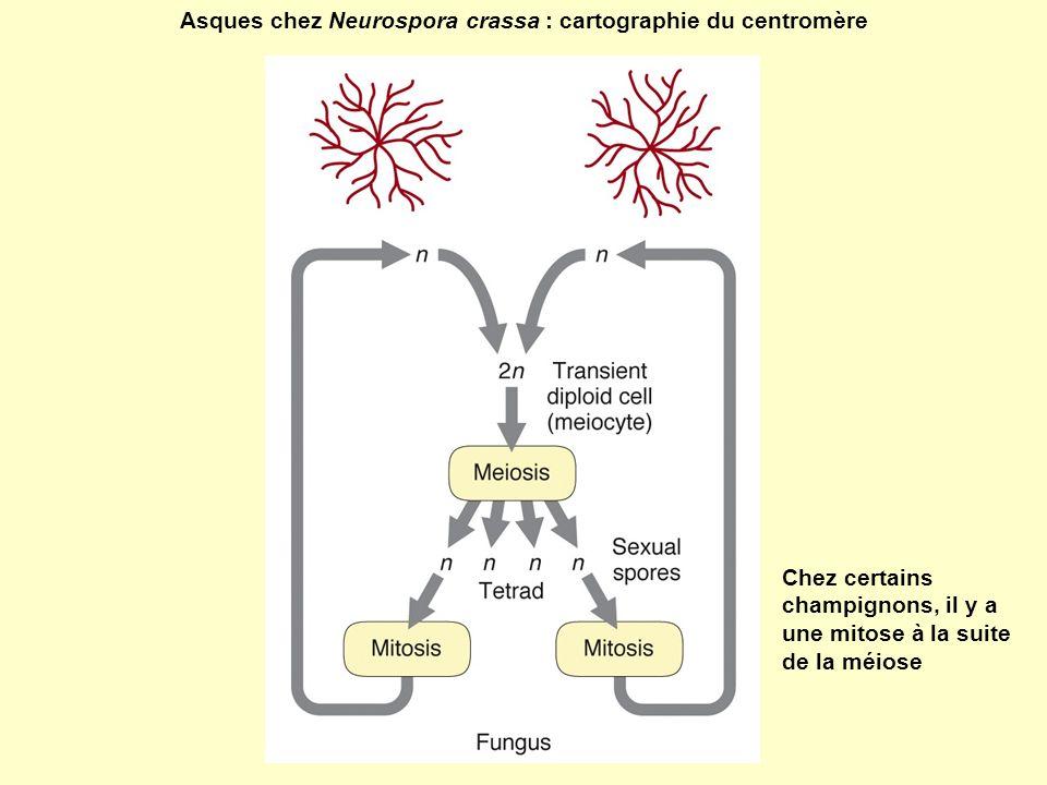 Asques chez Neurospora crassa : cartographie du centromère Chez certains champignons, il y a une mitose à la suite de la méiose