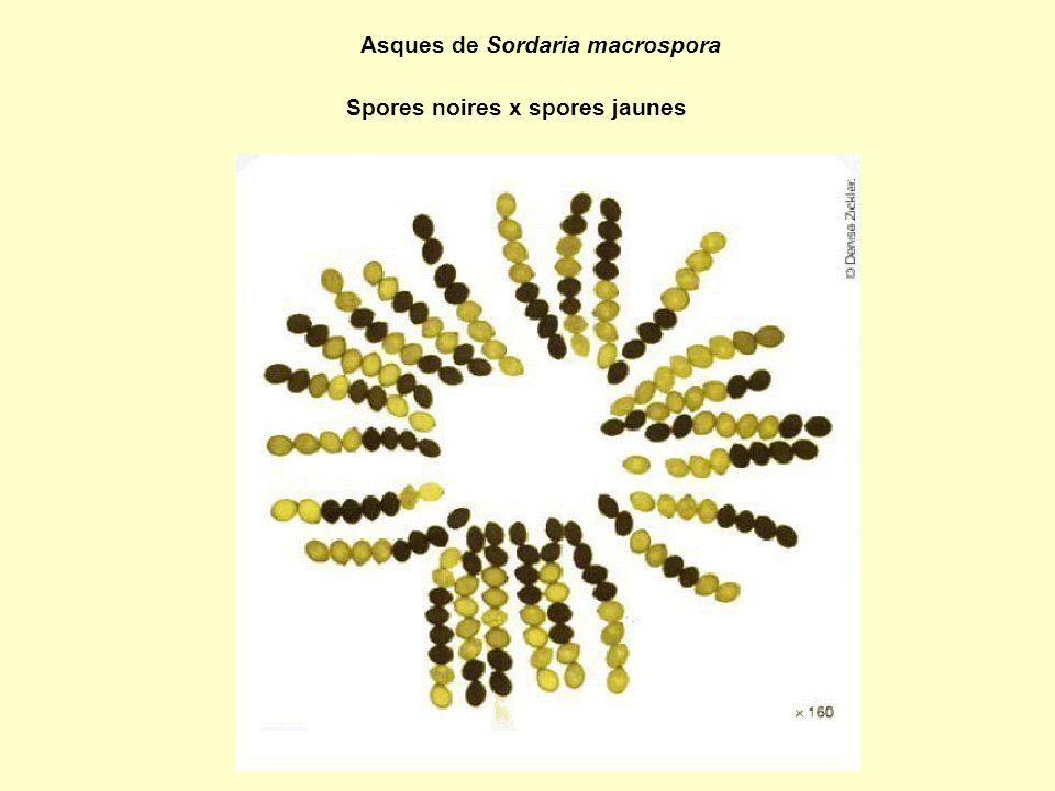 Asques de Sordaria macrospora Spores noires x spores jaunes