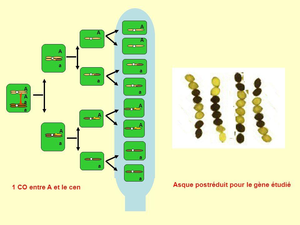 A A a a A a A a a A a A a A a A A a A a 1 CO entre A et le cen Asque postréduit pour le gène étudié