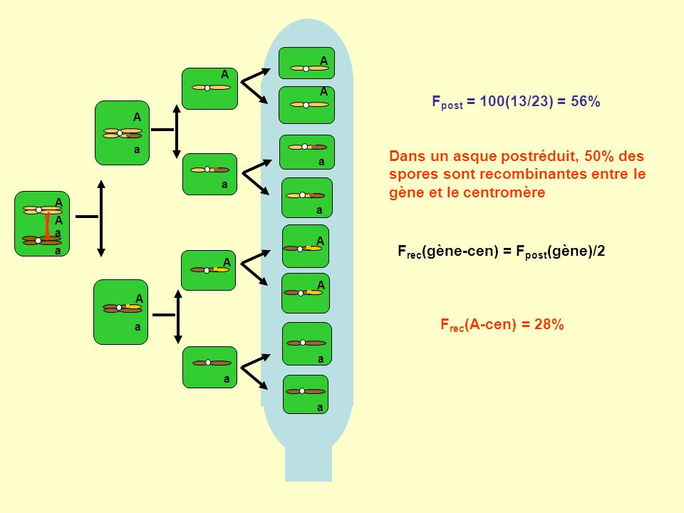 A A a a A a A a a A a A a A a A A a A a Dans un asque postréduit, 50% des spores sont recombinantes entre le gène et le centromère F rec (gène-cen) = F post (gène)/2 F rec (A-cen) = 28%