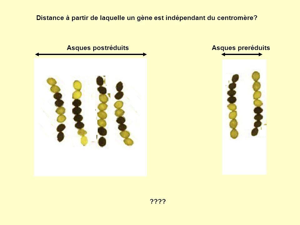 Distance à partir de laquelle un gène est indépendant du centromère? Asques postréduitsAsques preréduits ????