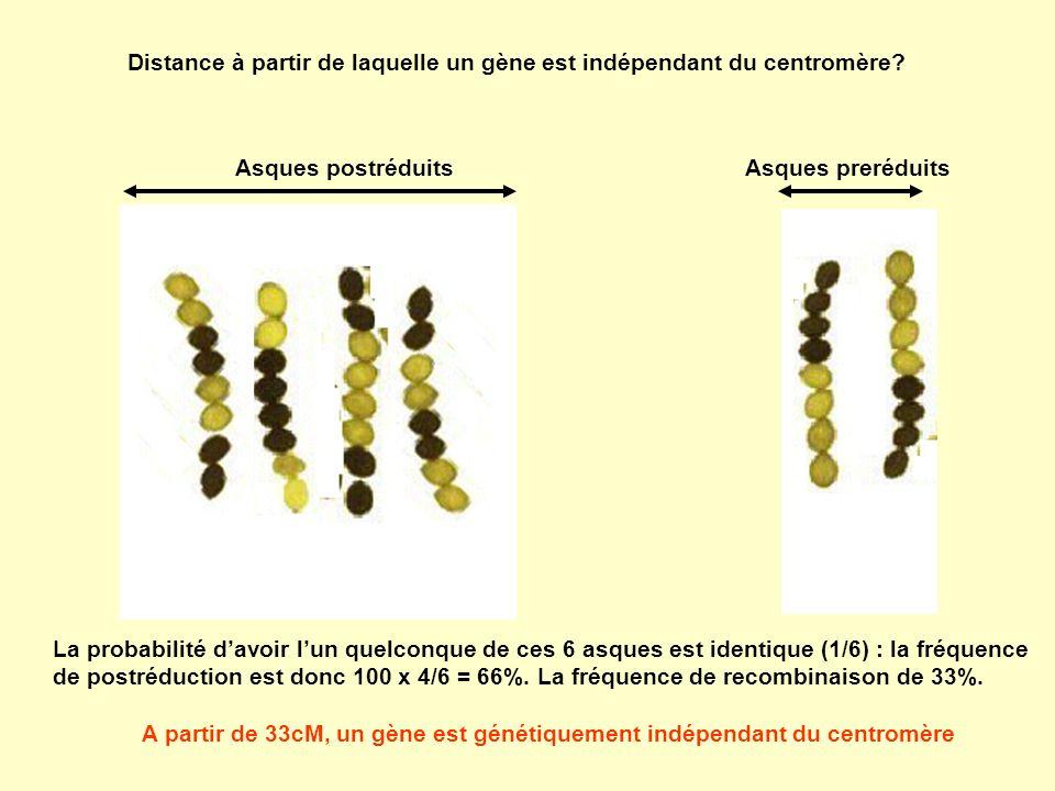 Distance à partir de laquelle un gène est indépendant du centromère? Asques postréduitsAsques preréduits La probabilité davoir lun quelconque de ces 6