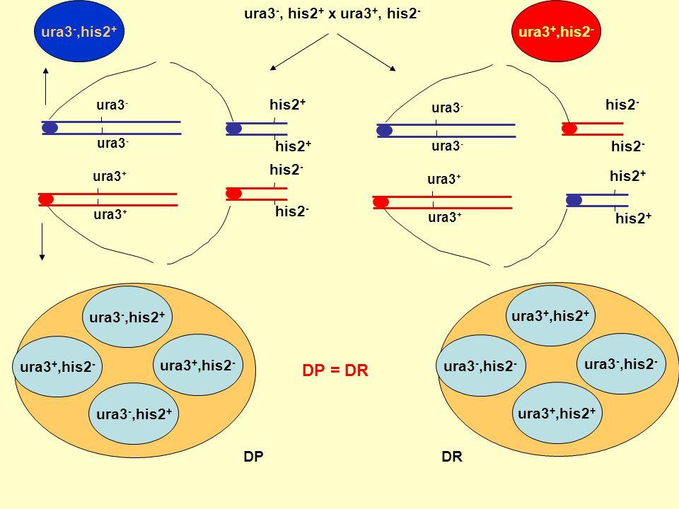 ura3 -, his2 + x ura3 +, his2 - ura3 - his2 + his2 - ura3 + ura3 - his2 + his2 - ura3 + ura3 -,his2 + ura3 +,his2 - ura3 -,his2 - ura3 +,his2 + ura3 +,his2 - ura3 -,his2 + ura3 +,his2 + ura3 -,his2 - Les Tétratypes sont obtenus par 1 CO entre ura3 en cen, OU his2 et cen ura3 -,his2 + ura3 +,his2 - Tetratypes